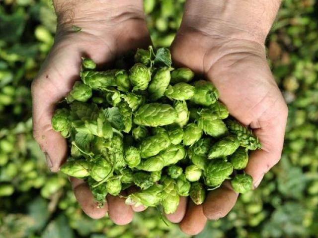 hopfen Zermatt Bier   Zermatt Matterhorn Brauerei AG